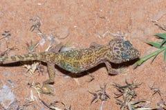 Gecko Court-digité du Moyen-Orient et x28 ; Doriae& x29 de Stenodactylus ; photos libres de droits