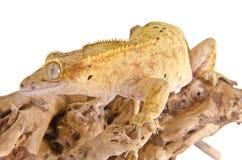 Gecko crêté photographie stock