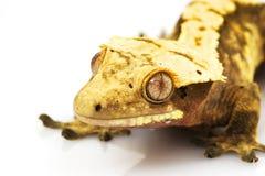 Gecko crêté image stock