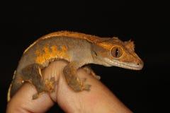 Gecko crêté photographie stock libre de droits