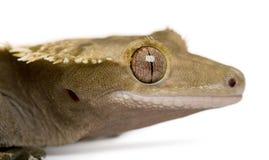 Gecko crêté calédonien neuf photo stock