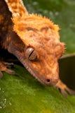 Gecko crêté calédonien neuf images libres de droits