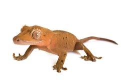Gecko crêté dans le studio photos stock