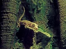 Gecko crêté de bébé ou Correlophus Ciliatus dans la caverne images stock