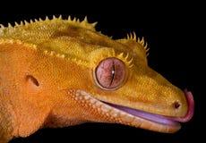 Gecko crêté léchant des languettes photo libre de droits