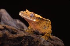 Gecko crêté RE (ciliatus de Rhacodactylus) photo stock