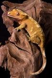 Gecko crêté sur le bois petrified Image stock