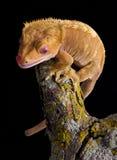 Gecko crêté sur le branchement photographie stock