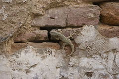 Gecko crawling a wall, lizard camouflage Stock Photo