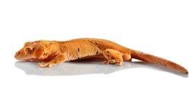 Gecko crestato fotografie stock libere da diritti