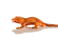 Gecko crestato immagine stock