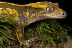 Gecko crestato immagini stock libere da diritti