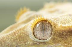 Gecko& crestato x27; occhio di s immagini stock