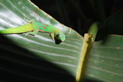 Gecko curieux Image stock