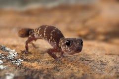 Gecko d'écorcement dans la posture défensive sur la roche orange Image libre de droits