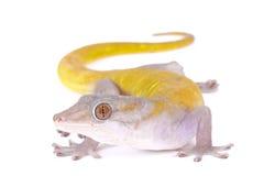 Gecko d'or, badenii de Gekko image stock