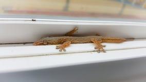 Gecko d'Hawaï de gecko photos stock