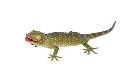 Gecko d'isolement sur le blanc photographie stock