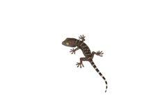 Gecko d'isolement sur le blanc Image libre de droits