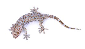 Gecko d'isolement sur le fond blanc images stock