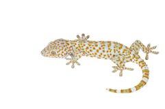 Gecko d'isolement sur le fond blanc photo stock