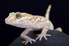 Gecko d'ocelot (pictus de Paroedura) photos libres de droits