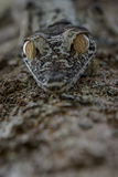 Gecko d'Uroplatus, Madagascar Photos stock