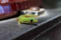 Gecko d'or vert coloré de jour de la poussière Images libres de droits
