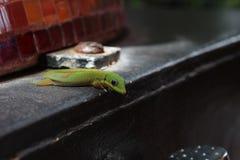 Gecko d'or vert curieux de jour de la poussière images stock