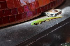 Gecko d'or vert de jour de la poussière Photographie stock libre de droits