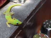 Gecko d'or vert de jour de la poussière Image stock