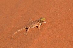 Gecko dans le désert de Namib Photo stock