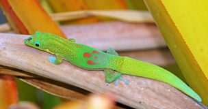 Gecko dans le jardin Images libres de droits