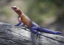 Gecko dans le sauvage Photographie stock libre de droits