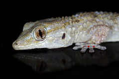 Gecko in the dark Royalty Free Stock Photography