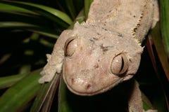 Gecko das coroas (ciliatus de Rhacodactylus) Imagens de Stock