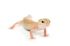 Gecko davanti ad una priorità bassa bianca fotografie stock libere da diritti