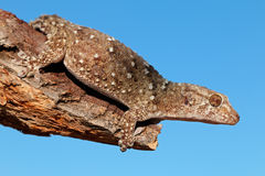 Gecko de Bibron Images stock