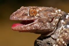 Gecko de Bibron Photographie stock libre de droits