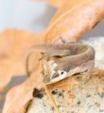 Gecko de Brown jetant la peau photos libres de droits