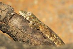 Gecko de caméléon de Bauer photos stock