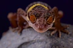 Gecko de caverne de Hainan/hainensis de Goniurosaurus photos stock
