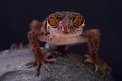 Gecko de caverne/hainensis de Goniurosaurus image libre de droits