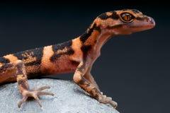 Gecko de caverne/orientalis de Goniurosaurus image libre de droits