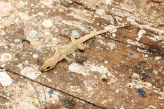 Gecko de Chambre images libres de droits