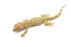 Gecko de Chambre d'isolement image libre de droits