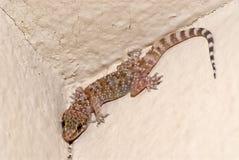 Gecko de Chambre sur un mur photographie stock libre de droits