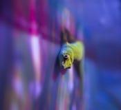 Gecko de disco Photo libre de droits