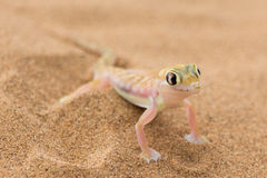 Gecko de désert Photo libre de droits