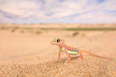 Gecko de dune de sable de Namib, Namibie Rangei de Pachydactylus, gecko palmipède de palmato dans l'habitat de désert de nature L images libres de droits